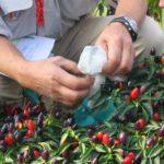 Técnica simples para evitar a hibridação da pimenta, ou de tomate