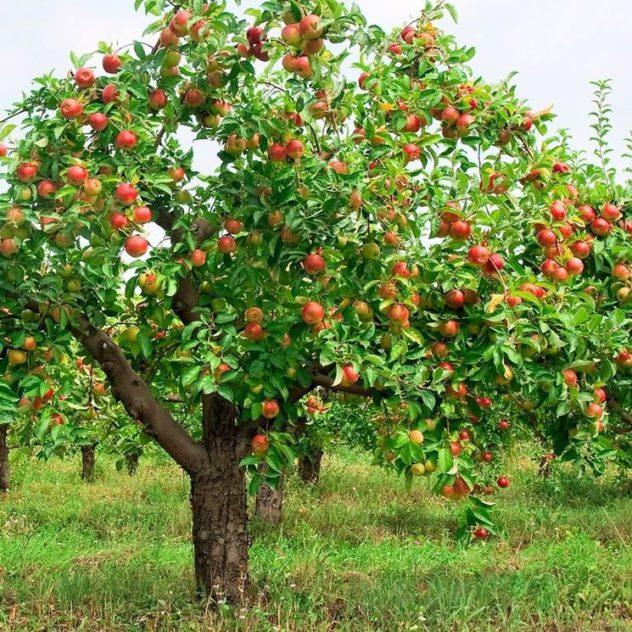 arvore de maçã