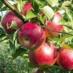 Germinar semente de maçã. A bobeira da internet!